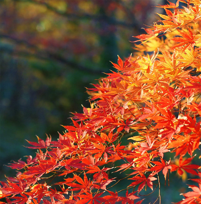 Japanese maple, by Steve Greene (flickr: zenjazzygeek)