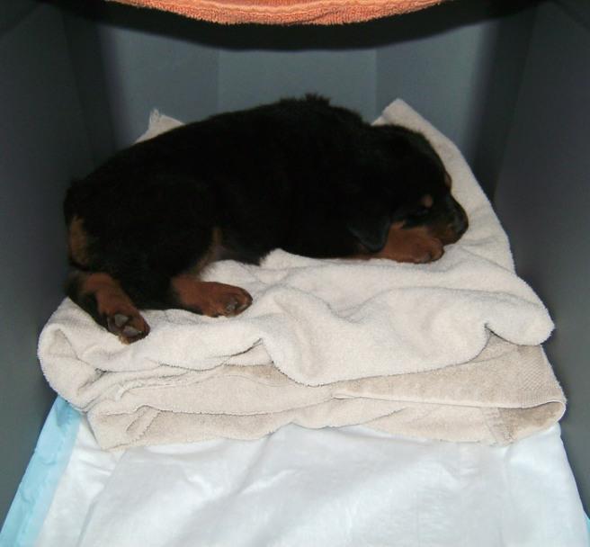 rottweiler puppy on towel