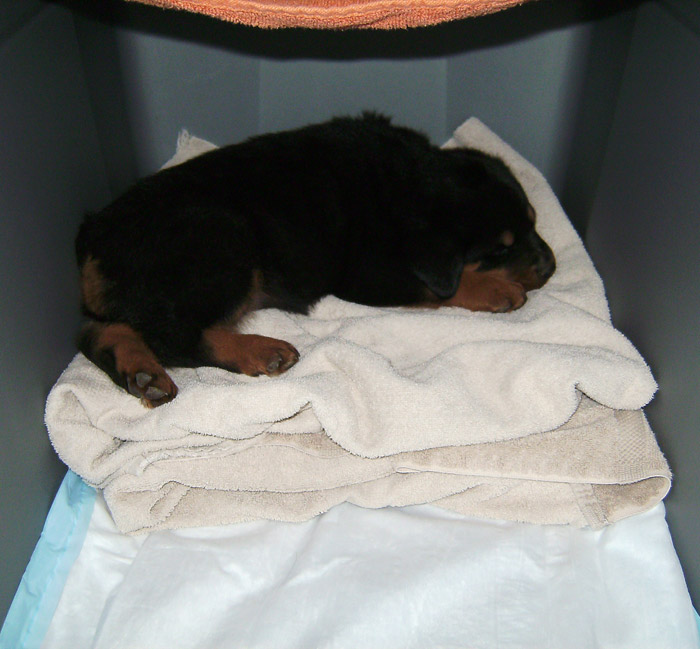 rottweiler puppy on towel