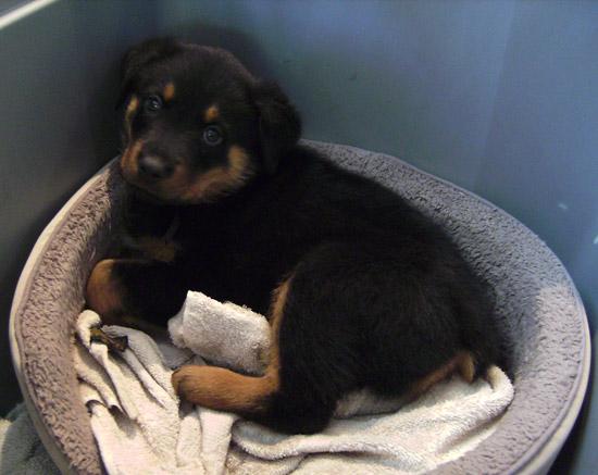 Rottweiler puppy 8 weeks