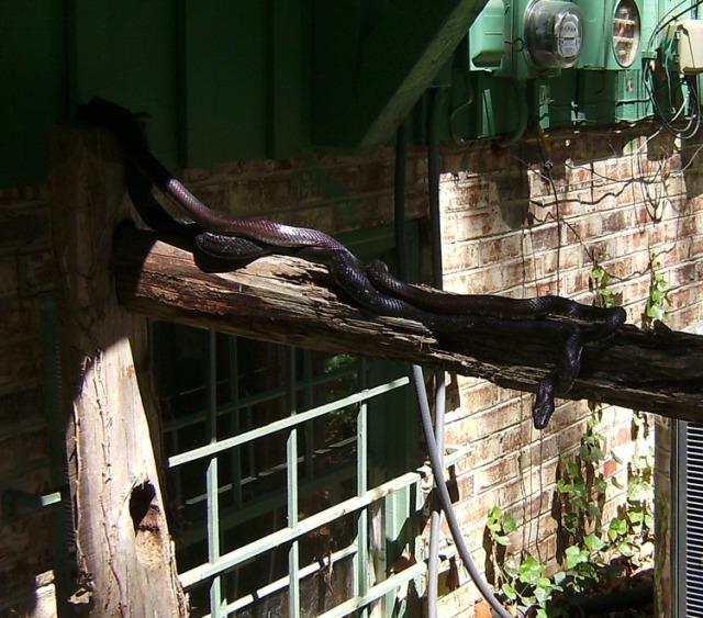 Black rat snakes doing it.
